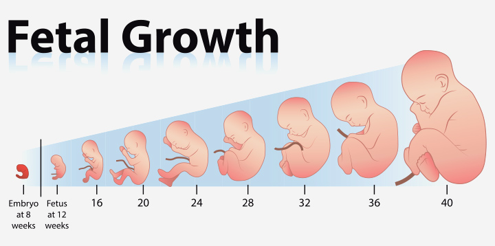 Growth Chart Length And Weight Of The Fetus Week By Week