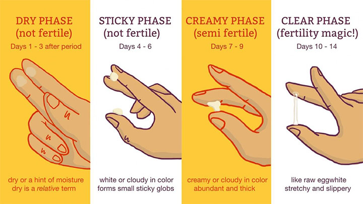 Phases Of Cervical Mucus