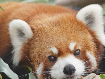 51 Interesting Red Panda Facts For Kids