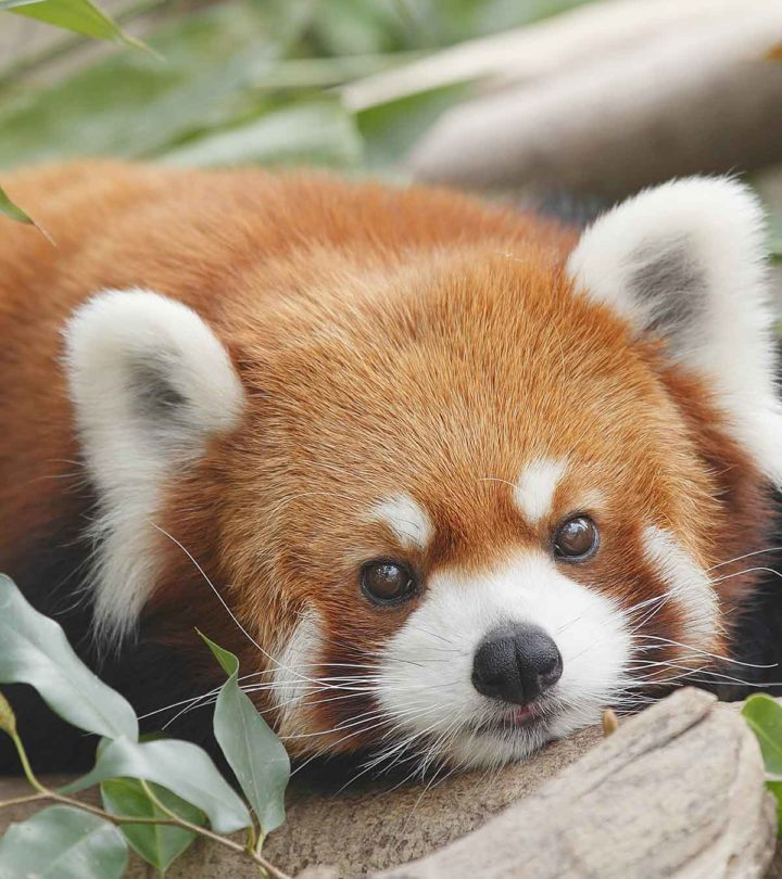 51 Fun And Interesting Facts About Red Pandas