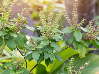 The Power Of Tulsi: How And Why You Should Be Eating Tulsi Leaves Everyday