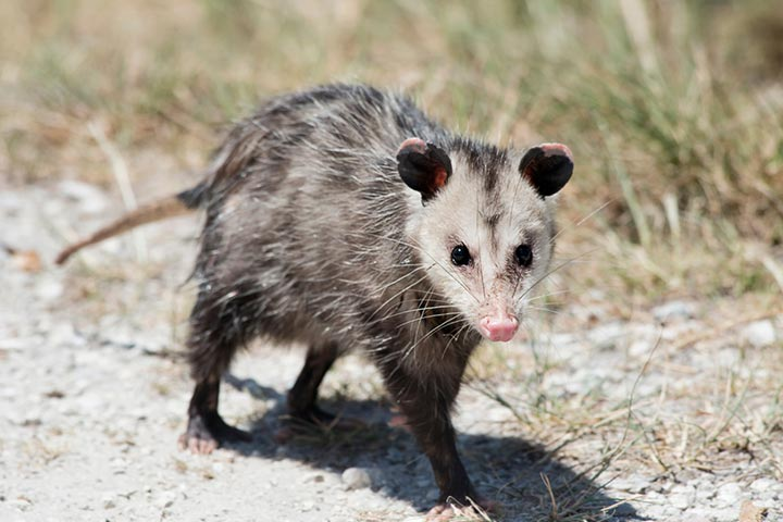 45 Interesting Facts About Opossums