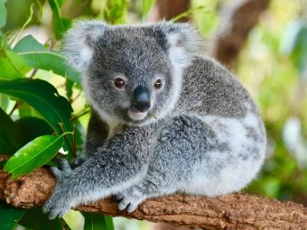 35 Interesting Facts And Information About Koala For Kids