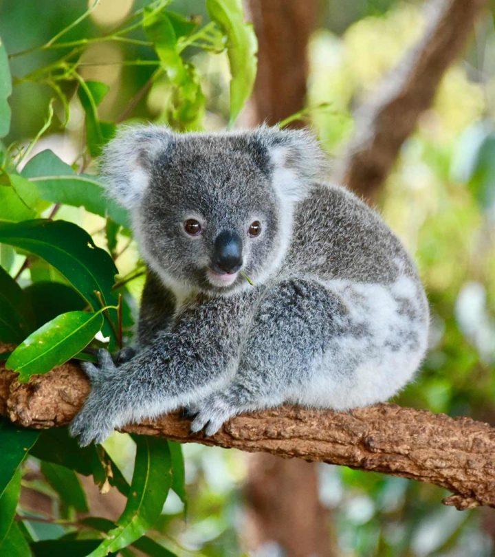 Fascinating Facts About Koala Bear