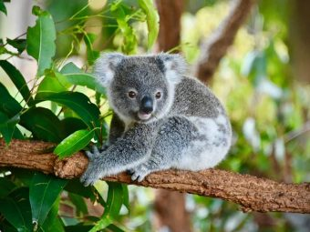 35 Fascinating Facts About Koala Bear