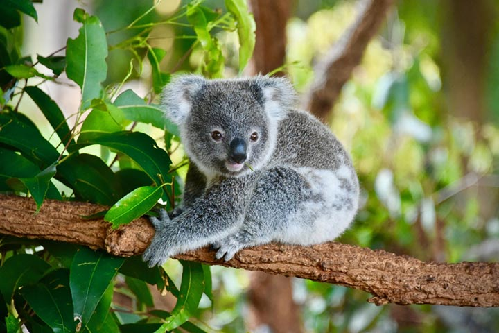 Fascinating Facts About Koala Bear