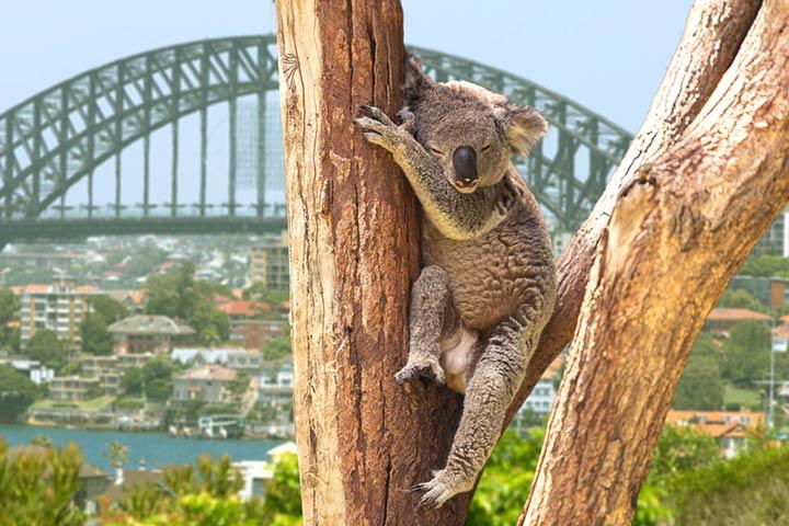 Koala in society & culture
