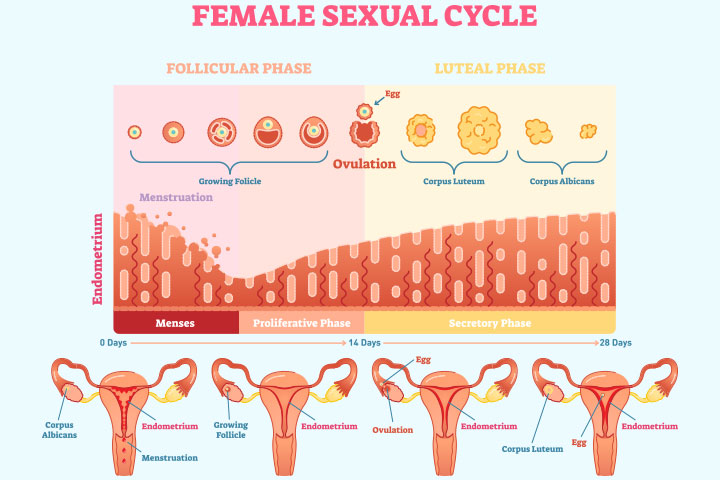 thickness of endometrium varies