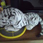 Wild Republic CK White Tiger-Very cute little-By saraswathisubbu