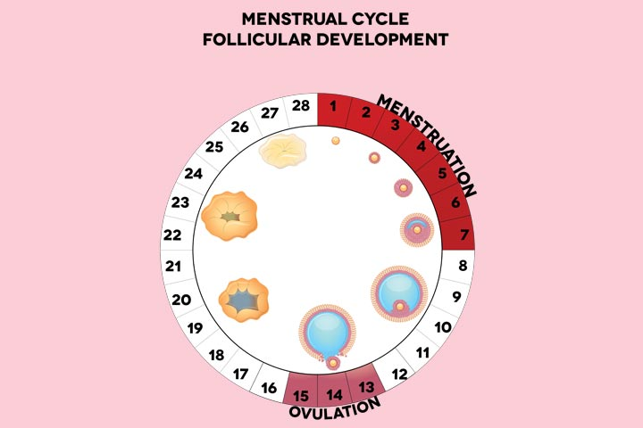 Role Of Follicles In The Menstrual Cycle