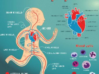 Heart And Circulatory System Diagram, Function & Parts