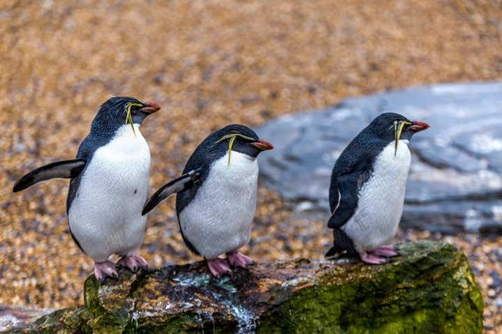 Snares penguins
