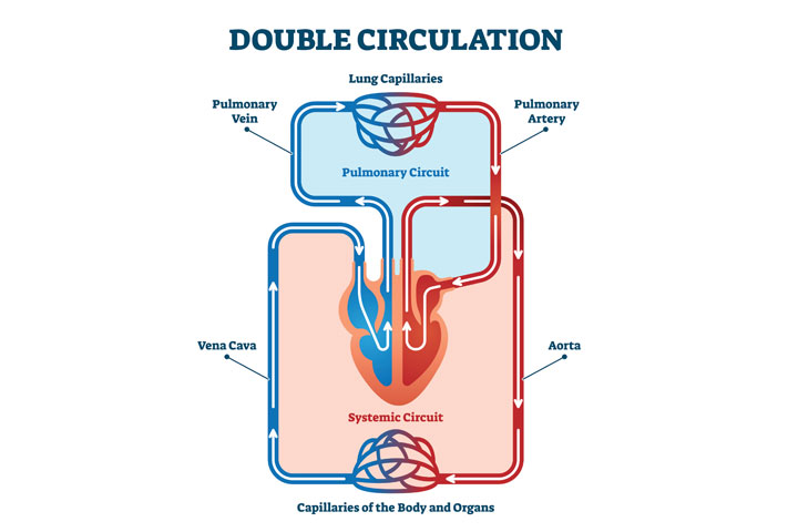 The pulmonary circuit