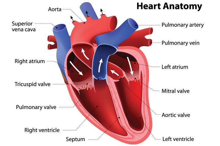 What Are The Parts Of The Heart
