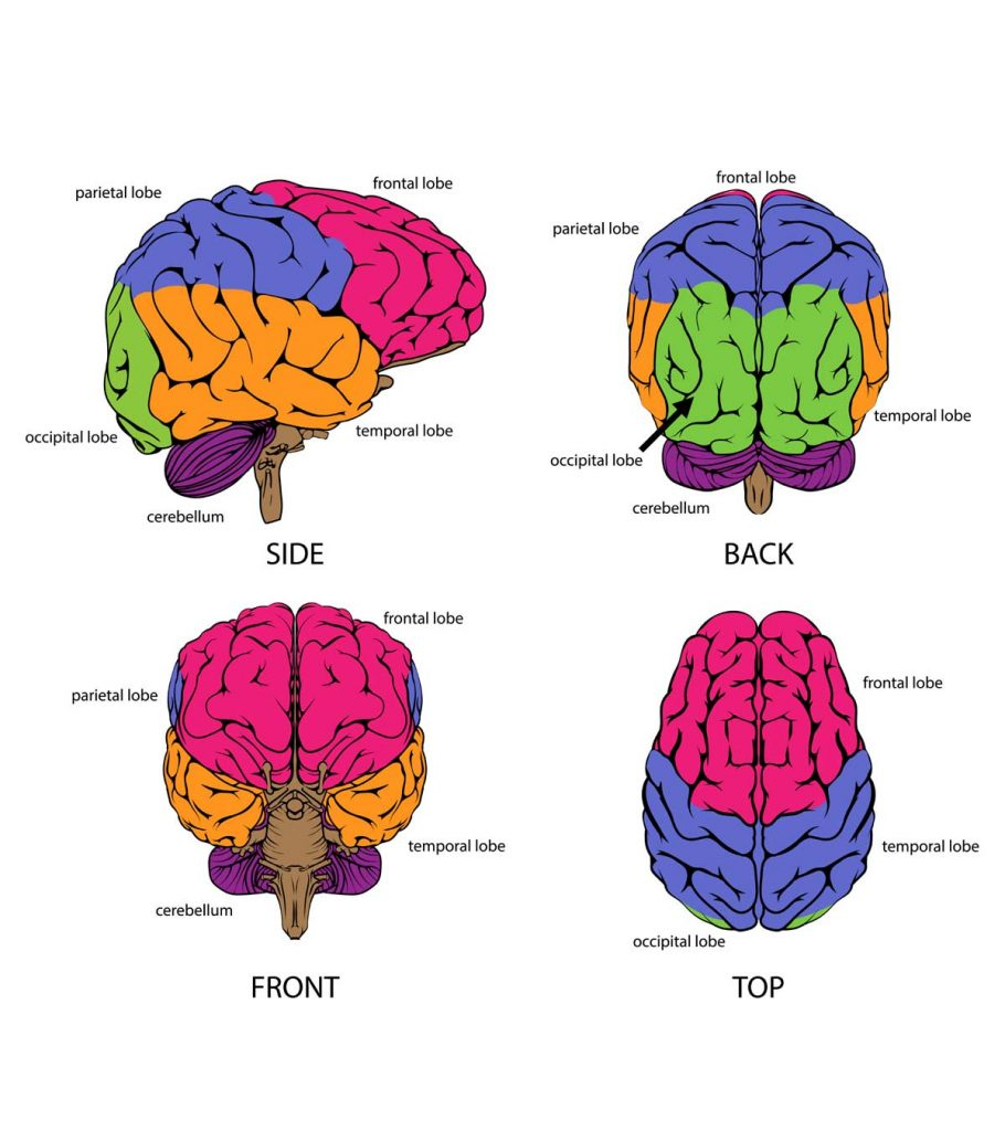 Diagram, Parts, Functions & Facts About The Brain For Kids