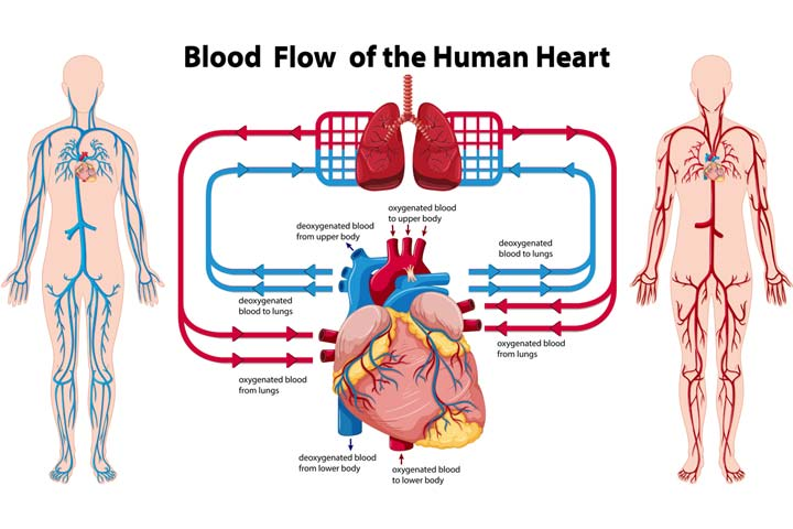How Does Blood Travel Through The Body