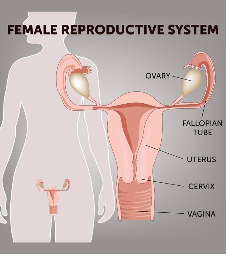 Parts, Functions & Diagram Of Female Reproductive System, For Kids