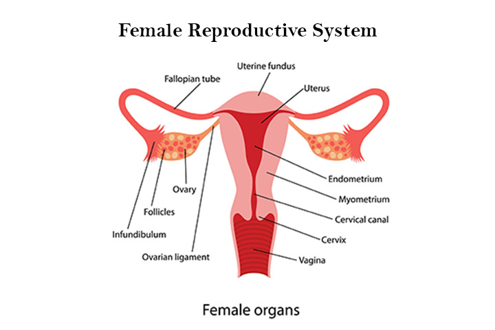 Parts Of The Female Reproductive System2