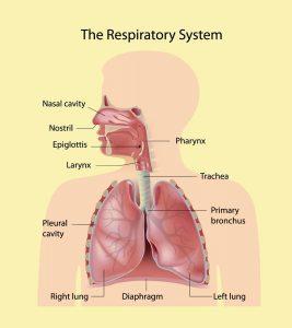 RespiratorySystemForKids-1