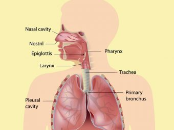 Respiratory System For Kids: Diagram, Parts, Functions, And Facts