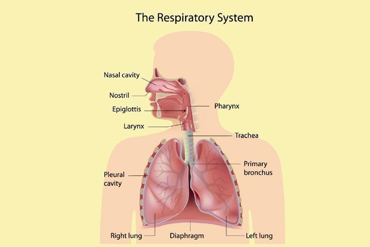 RespiratorySystemForKids