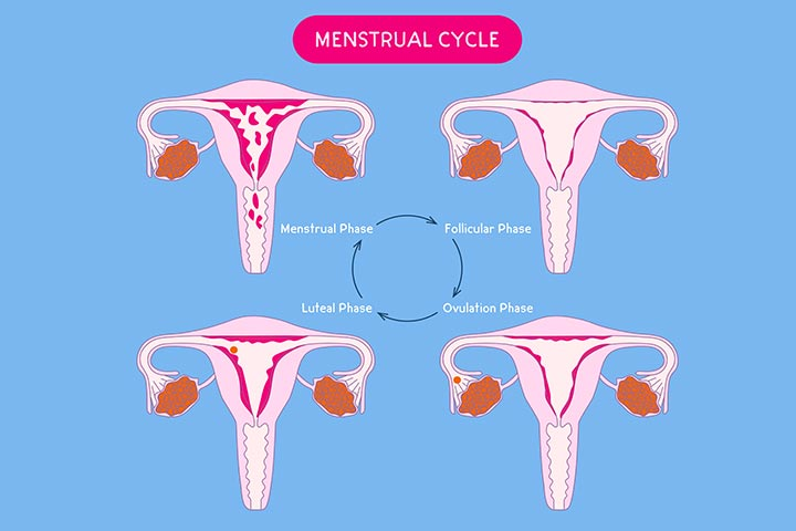 What Is The Menstrual Cycle