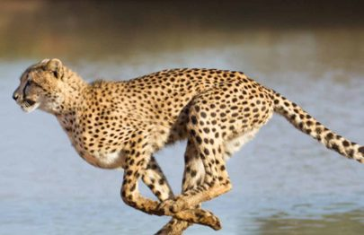 21 Fun And Interesting Facts About Cheetah For Kids