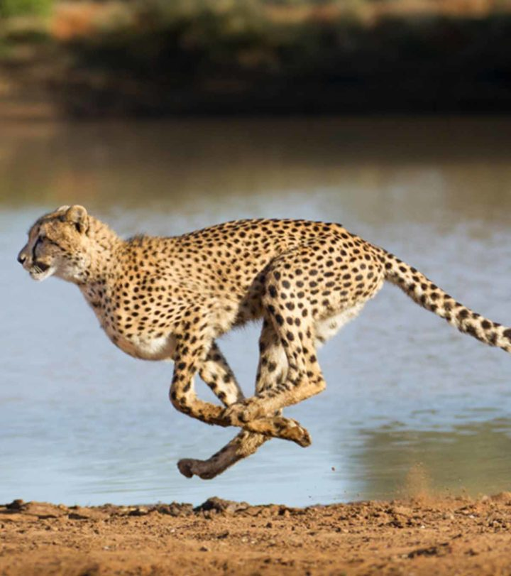 Fun And Interesting Facts About Cheetah For Kids