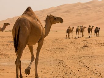 30 Informative And Fun Camel Facts For Kids
