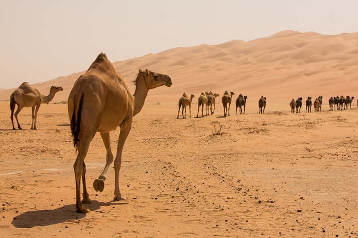 30 Informative And Fun Camel Facts For Kids1