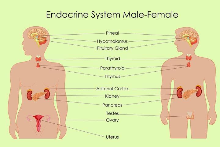 Endocrine system