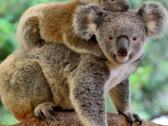 38 Interesting And Fun Facts About Koalas For Kids
