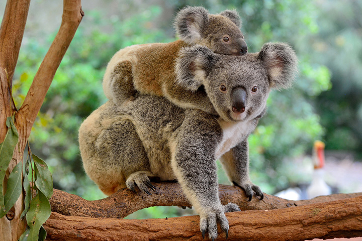 Interesting And Fun Facts About Koalas For Kids