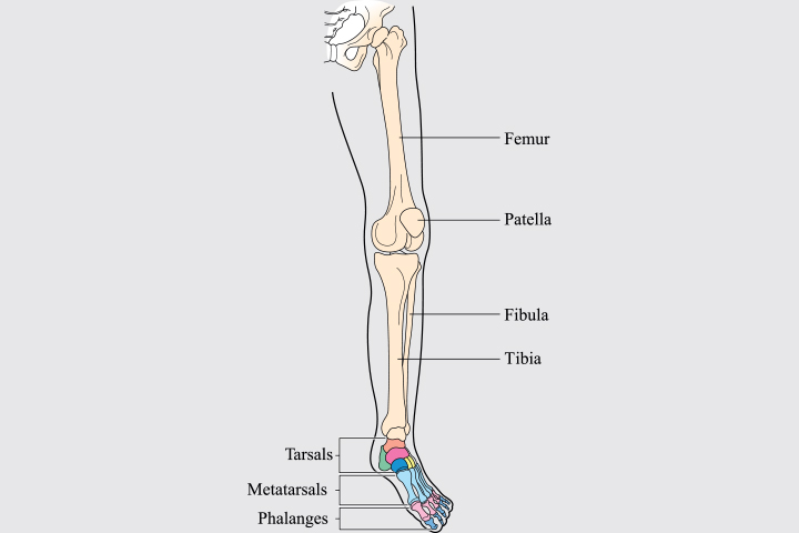 Pelvis and Legs