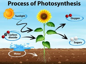 Photosynthesis For Kids: Definition, Process, Diagram And Facts