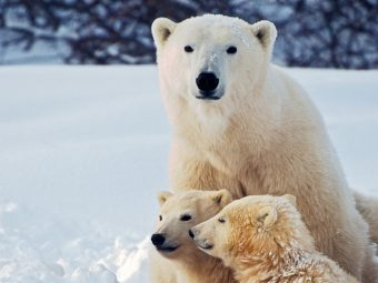 26 Interesting Facts About Polar Bears, For Kids