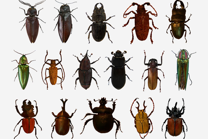 The beetle order (Coleoptera)