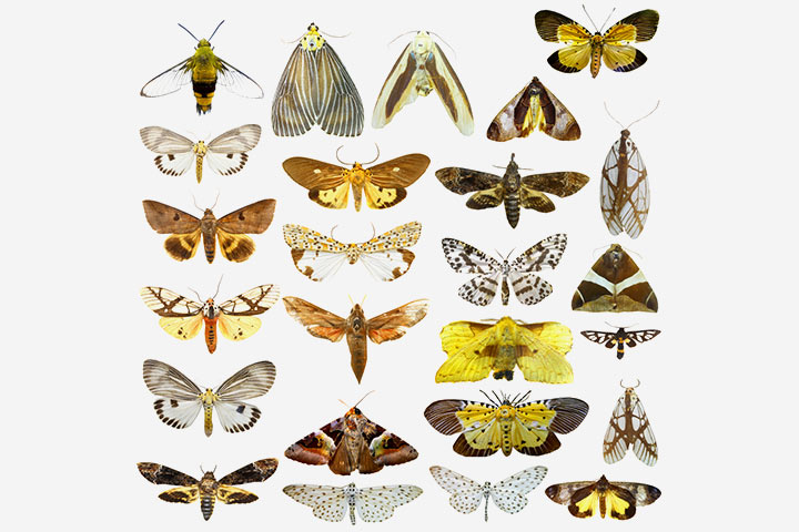 The butterfly and moth order (Lepidoptera)