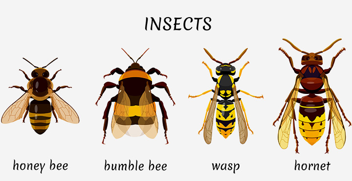 The ant, bee, and wasp order (Hymenoptera)